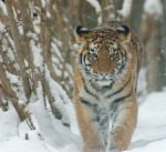 Tigre de Amur / Amur´s Tiger