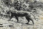 Tigre de Java / Java´s Tiger