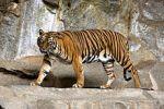 Tigre de Sumatra / Sumatran Tiger
