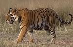 Tigre de Bengala / Bengal Tiger