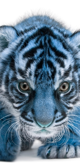 Tigre Azul - Blue Tiger