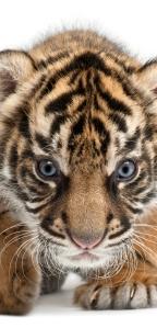 Tigres, al borde de la desaparición