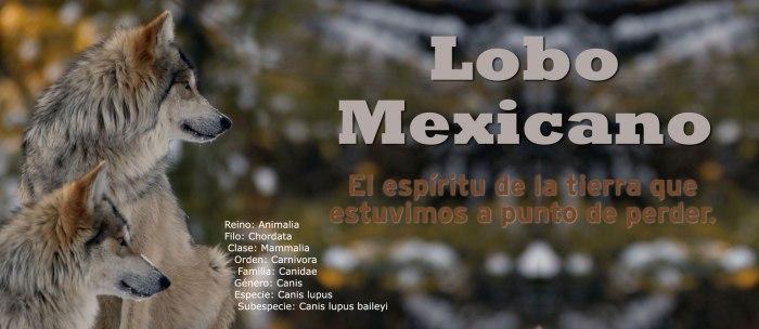 Lobos Perros Siluetas Mamíferos: ¿Aún Se Puede Salvar Al Lobo Mexicano?