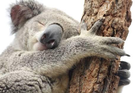 La paz de un Koala