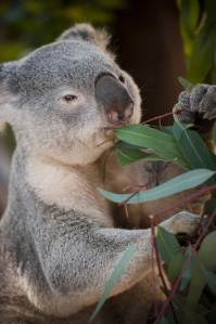 Eucaliptus toxicus
