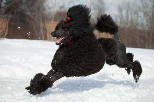 Gran Jefe Poodle
