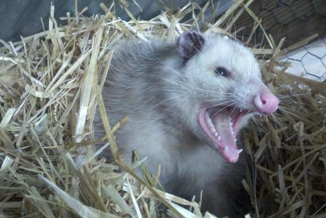 opossum-309264_1920